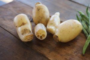 レンコンは生で食べられるもの?収穫時期によって違うって本当?